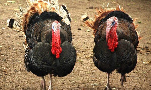 Ayam Kalkun Harga Terjangkau