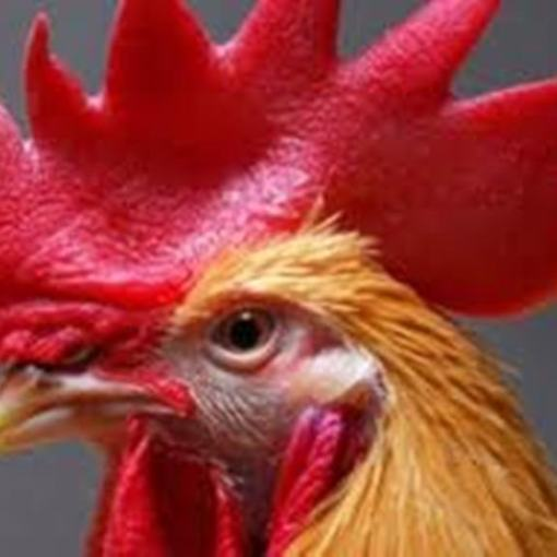 laughing rooster breed