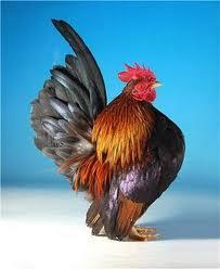 perbedaan ayam kate dan serama