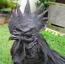 Ayam Cemani (5)