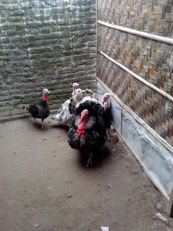 Ayam Kalkun Indukan