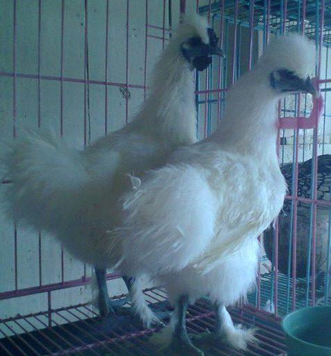 Ayam Kapas 4