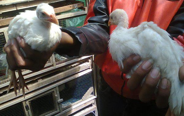 Ayam Mutiara Putih (2)