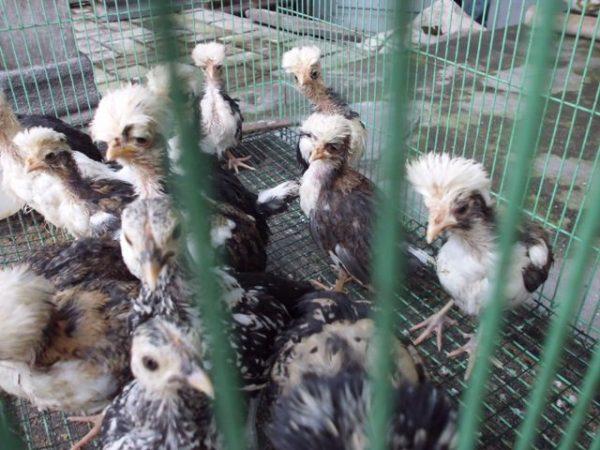 Ayam Polan 1 bln (2)