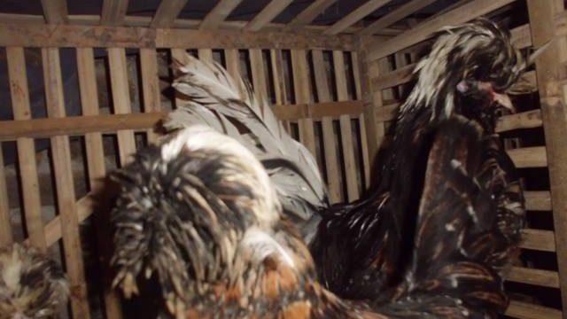 Foto Koleksi Ayam Polan / Mahkota