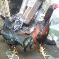 Ayam Bangkok Umur 6 Bulan a