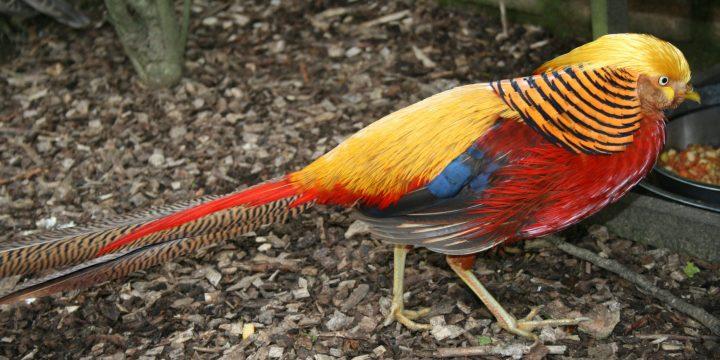Cara Beternak Ayam Golden Pheasant