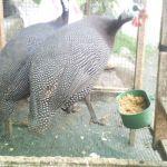 Indukan Ayam Mutiara Siap Kirim ke Jati Uwung Tangerang