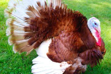 Kalkun adalah salah satu jenis ayam hias yang memiliki postur tubuh yang besar