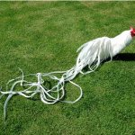 Jual Ayam Ekor Panjang atau Ayam Onagadori Asli Siap Kirim dari Telur maupun anakan atau Bibit dan Indukan