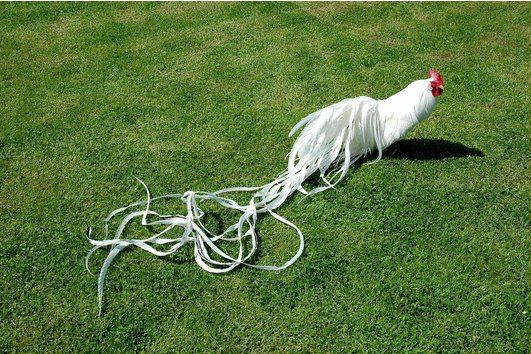 Ayam onagadori bulu ekor panjang ikal dari Jepang