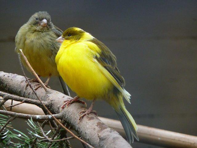 Burung Kenari yang jarang dijemur juga menjadi faktor suara kenari serak   image 1