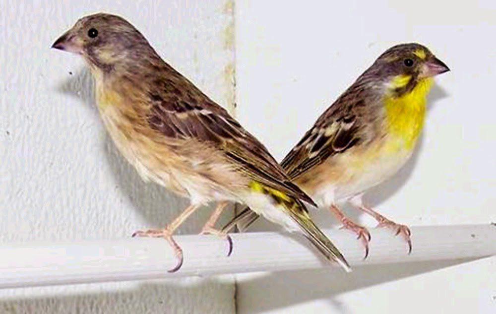 Burung Kenari Blackthroat
