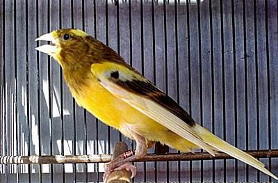Menyiapkan Burung Kenari Untuk Berkembangbiak