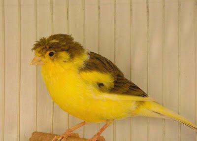 Burung Kenari Crest