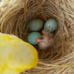Cara Mengetahui Telur Burung Kenari Berisi atau Kosong