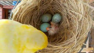 Burung kenari, telur kenari yang bagus, warna telur kenari, ciri telur kenari yang dibuahi, jarak menetas telur kenari, ciri telur kenari jantan dan betina