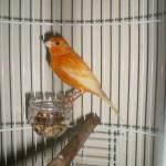 Solusi Untuk Mengatasi Burung Kenari yang Kurus