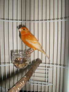 Burung kenari, mengatasi kenari kurus secara alami, cara menggemukan kenari kurus, obat cacing kenari, pakan untuk kenari yang kurus