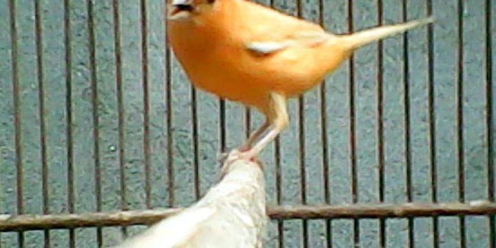 Mengenal lebih Dekat Burung Kenari Lokal Super (Loper)