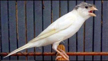 6 Manfaat Kerodong Bagi Kesehatan Burung Kenari Hobi Ternak