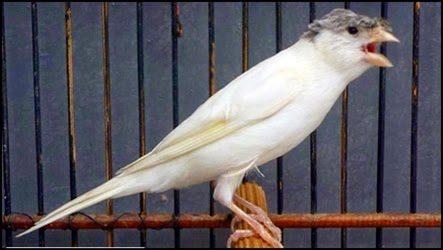 Cara Mengatasi Suara Serak Burung Kenari