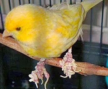 7 Macam Penyakit yang Sering Menyerang Burung Kenari