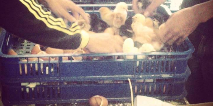4 Cara Budidaya Ayam Kampung Super (Joper)
