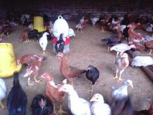 Ternak Ayam Jawa Super ( Joper)