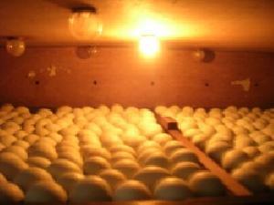 Proses penetasan telur ayam serama menggunakan mesin penetas semi otomatis ini menjadi pendorong produksi ayam seraam, karena induk ayam tidak perlu lagi mengeramkan telurnya. Dan Induk ayam tersebut fokus untuk produksi telur.