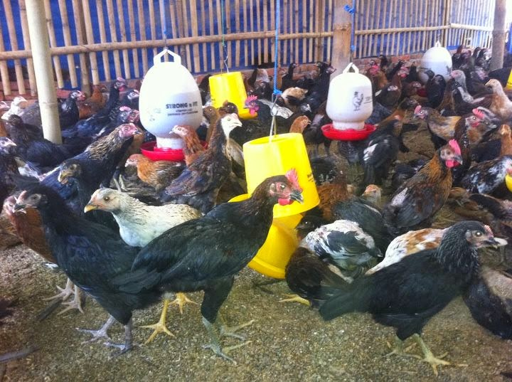 Cara Praktis Menambah Nafsu Makan Ayam Kampung Super Joper