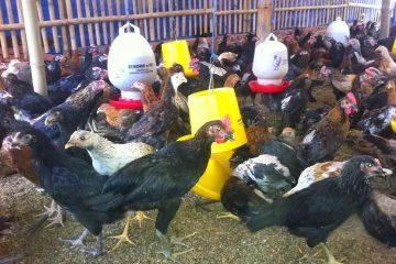 Menambah Nafsu Makan Ayam Jawa Super/ Ayam Kampung Super