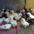 Penyakit Kutil Pada Ayam Jawa Super