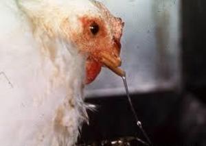 Penyakit Snot atau Pilek Pada Ayam Jawa Super bisa di obati dengan kapsul anti snot | ayam pilek