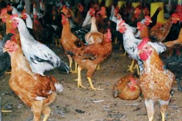 Indukan Ayam Jawa Super Berkualitas