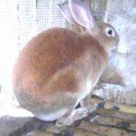 16 Ciri-Ciri Kelinci yang Sedang Hamil dan akan melahirkan