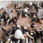 Pengiriman DOC Ayam Kampung Super untuk Pesanan Bapak Budi di Batam