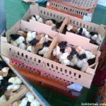 Pengiriman DOC Ayam Kampung Super Pesanan Bapak Harmosoni di Provinsi Batam