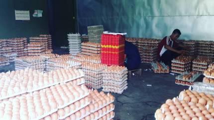 Telur yang Siap di Tetaskan Menjadi DOC Ayam Kampung Super