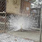 Pengiriman Burung Merak Putih Pesanan Bapak Nanang di Tengerang