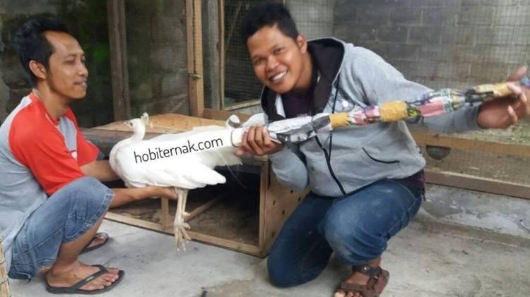 Merak Putih Persiapan Kirim ke Tangerang