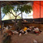 5 Tahap Mempersiapkan Kandang untuk Ayam Kampung Super