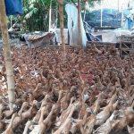 Cara Mudah Ternak Bebek Petelur Jenis Mojosari
