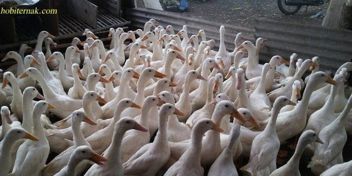 Mengenal Bebek Peking dengan Pertumbuhan yang Cepat Serta Pembudidayaan Bebek Peking Secara Instensif