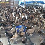 Beternak Bebek Peking Dengan Mudah