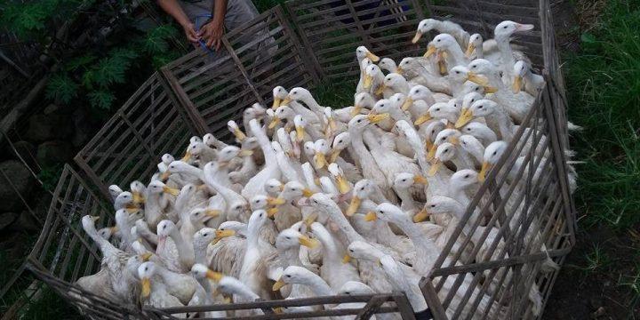 Mengenal Bebek PMp sebagai Bebek Pedaging Unggul