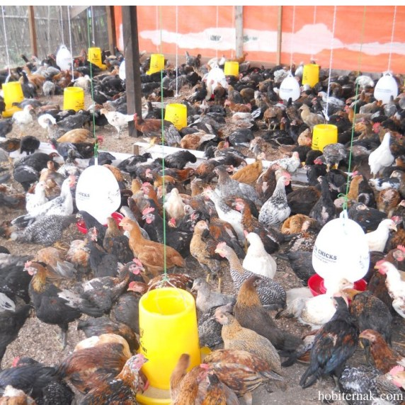 Asal Usul Ayam Kampung Super