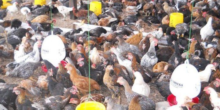 Bagaimana Cara agar Mendapatkan Hasil yang Optimal Dari Beternak Ayam Kampung Super