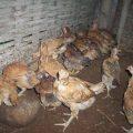 Penyakit Tetelo yang Menyerang Ayam Kampung Super