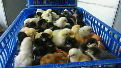 Harga Jual DOC atau Bibit Ayam Kampung Super (JOPER) untuk Daerah Madiun